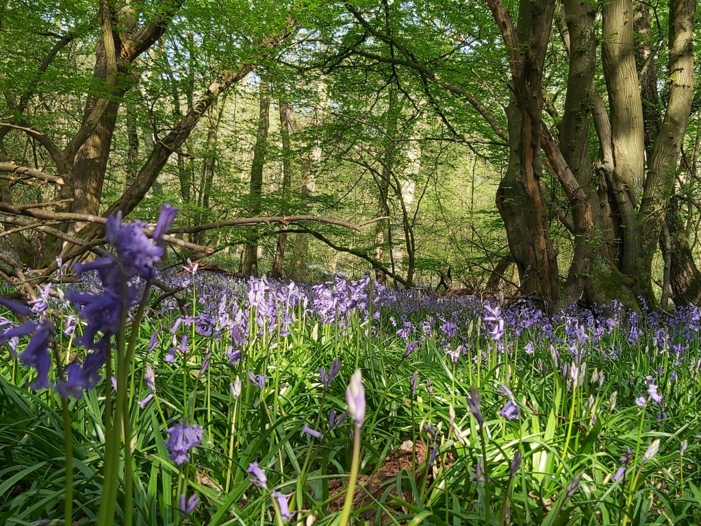 bluebells, covid, coronavirus, digitaljen, st albans, apps, website, business advice, consultancy